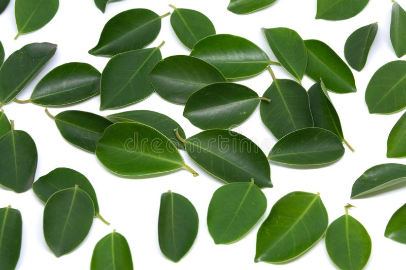 Closeup Leaves Trees isolated on white backgrounds. Leaves royalty free stock photo