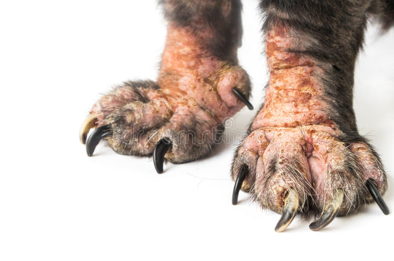 Closeup legs of dog sick leprosy skin problem with white background, selective focus royalty free stock photos