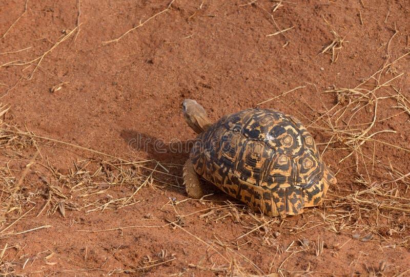Closeup of Leopard tortoise. Scientific name: Testudo pardalis, or `Mzee kobe` in Swaheli in the Serengeti/Tarangire, Lake Manyara, Ngorogoro National park royalty free stock images