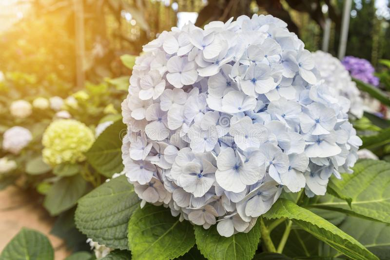 Closeup light blue Hydrangea flower over blurred garden with vintage morning warm light stock photography