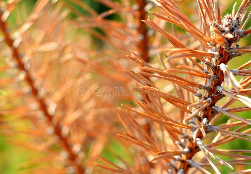 Closeup of the light peach pine needles stock images