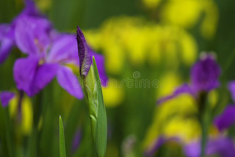 A lilac iris flower bud in the garden. A closeup lilac iris flower bud in the garden with greenyellow background is ready to bloom stock images