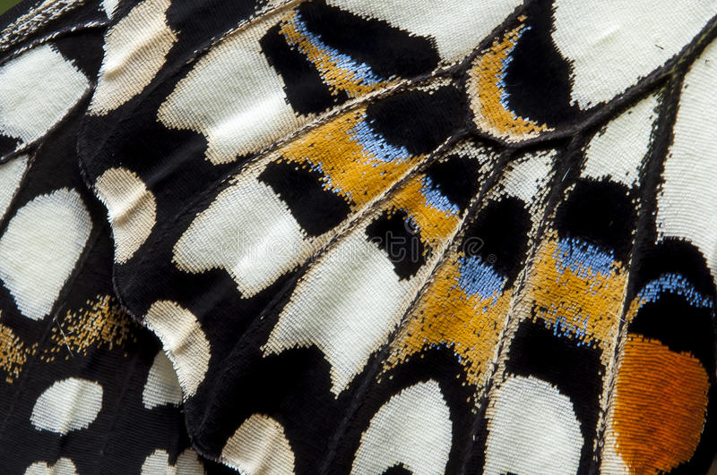 Closeup The Lime Butterfly wing, butterfly wing detail texture background royalty free stock photos
