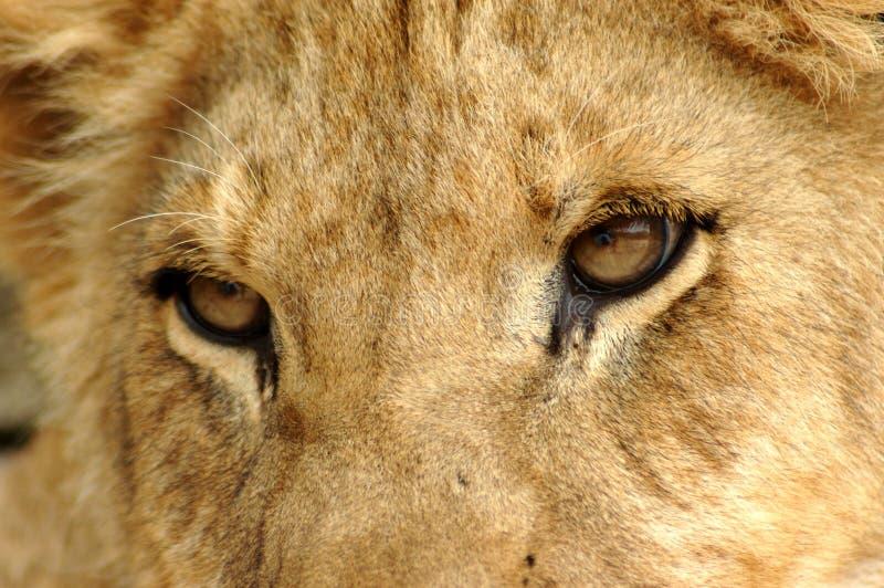 Closeup Lion eyes stock image