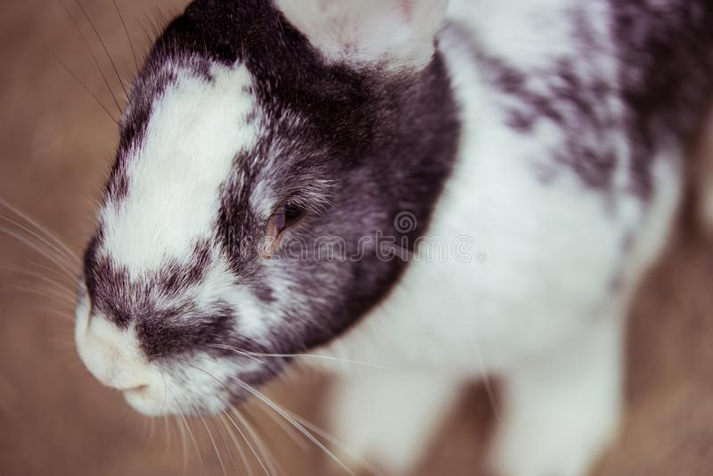 The closeup of a little bunny. The colors of the bunny are white and gray royalty free stock photography