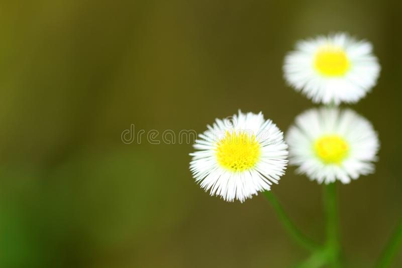 Closeup of a little white daisy, perfectly round flower royalty free stock photos