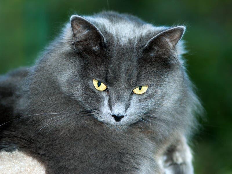 Medium Length Hair Cats
