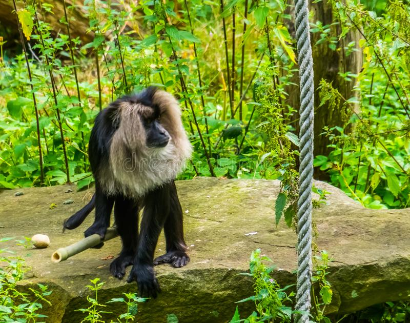 Closeup of a long tailed macaque holding a bamboo branch, tropical primate, Endangered animal specie from the mountains of India royalty free stock images