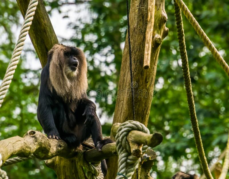 Closeup of a long tailed macaque, tropical primate, Endangered animal specie from the mountains of India stock photography