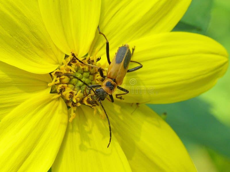 Longhorn Beetle On Helianthus royalty free stock images