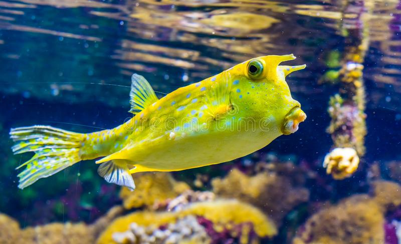 Closeup of a longhorn cow fish, funny tropical fish specie from the indo-pacific ocean. A closeup of a longhorn cow fish, funny tropical fish specie from the stock images