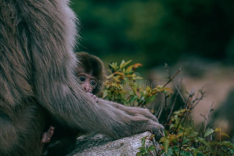 Closeup look of a brown baby Japanese macaque hiding behind its mother`s arm surrounded by greenery royalty free stock photo