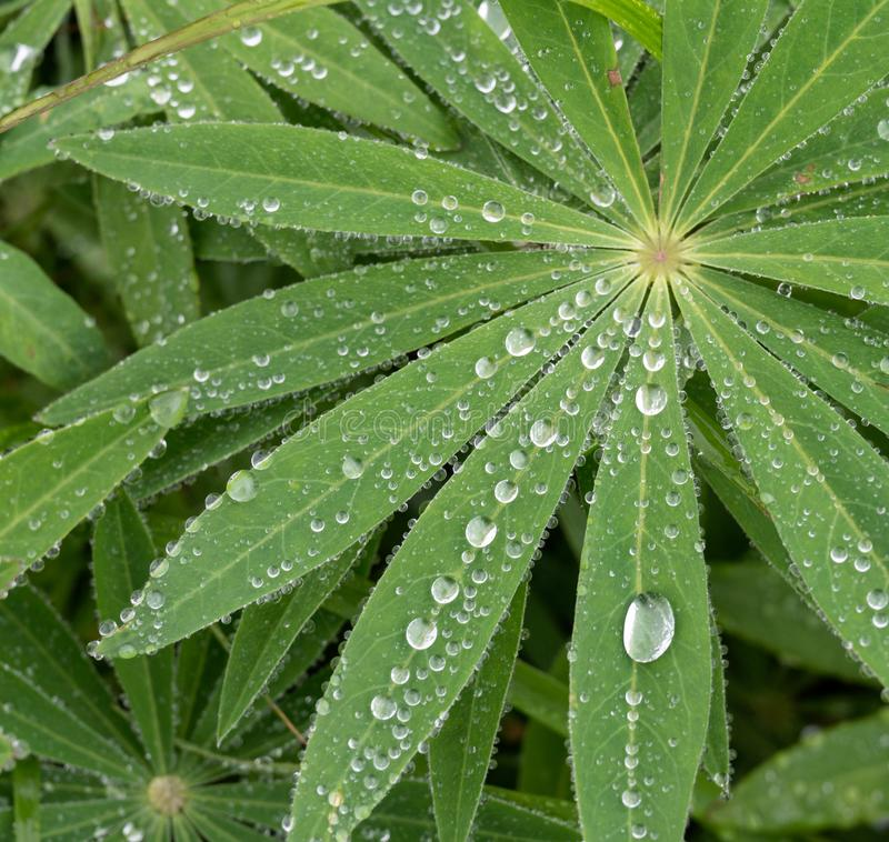 Closeup of lupine leafs and water drops. Latin name: Lupinus wolfish stock photo