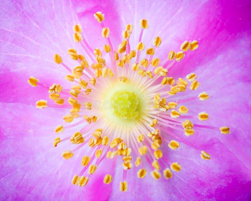 Closeup macro dogrose flower stock photos