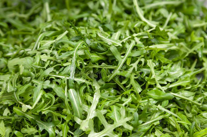 Closeup macro fresh green selected leaves of arugula herb. Concept diet, vegetarian, natural, low-calorie meal stock photography