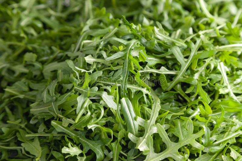 Closeup macro fresh green selected leaves of arugula herb. Concept diet, vegetarian, natural, low-calorie meal stock images