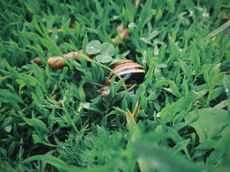 Closeup macro of little small forest garden land snail gastropod mollusc with yellow striped shell and worm in green grass. After rain. Wild animals outdoors royalty free stock images