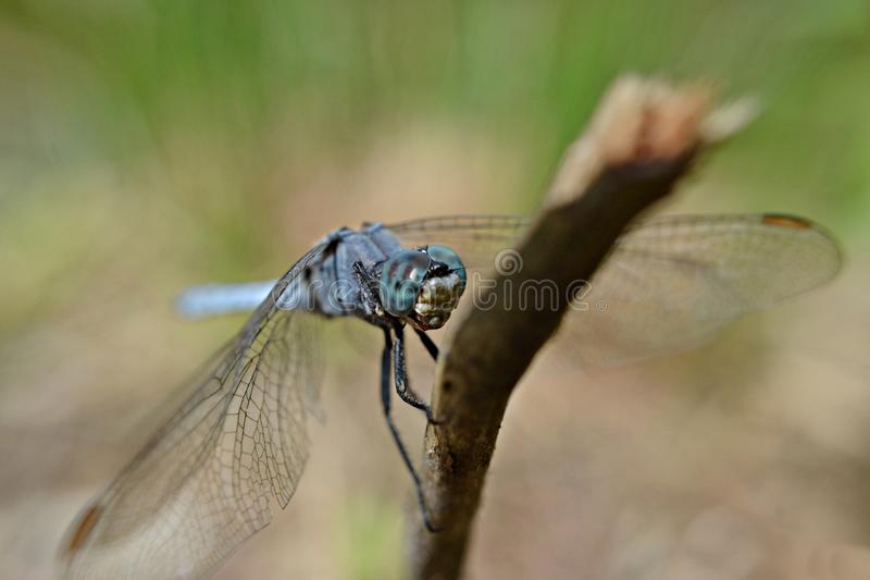 Blue dragonfly holding a stick outside/ macro and closeup nature details photography royalty free stock photo
