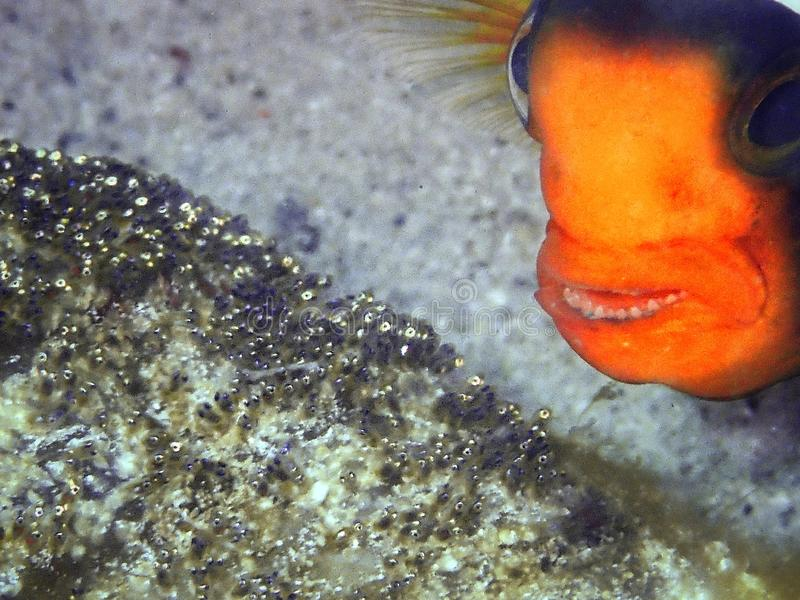 Western Clownfish or Anemonefish in Tunku Abdul Rahman Park, Kota Kinabalu, Sabah. Malaysia, Borneo. Closeup and macro shot of the Amphiprion polymnus or stock photo