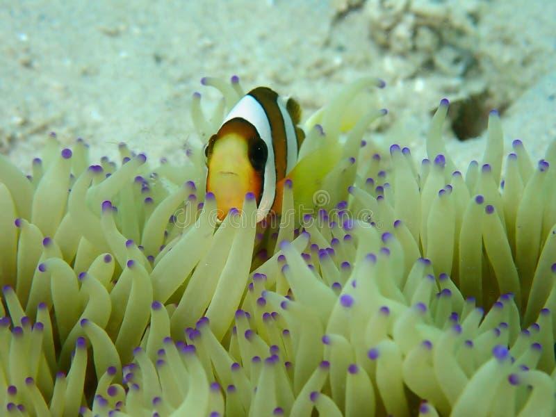Barrier Reef anemonefish or Amphiprion akindynos during a leisure dive in Tunku Abdul Rahman Park, Kota Kinabalu. Sabah, Malaysia. Closeup and macro shot of stock photography