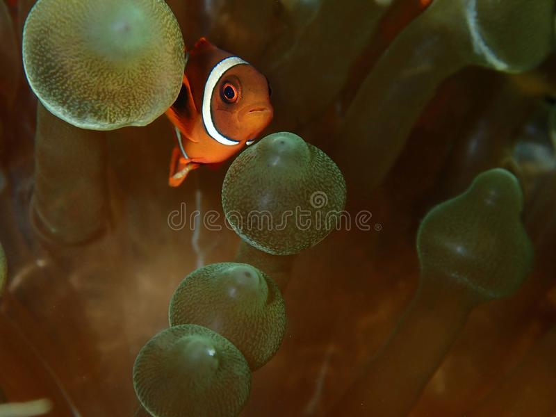 Closeup and macro shot of Spinecheek Anemonefish fish during leisure dive in Tunku Abdul Rahman Park, Kota Kinabalu, Sabah. Malay. Closeup and macro shot of the royalty free stock photo