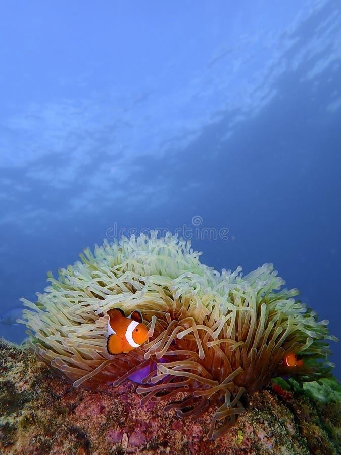 Closeup and macro shot of the Western Clownfish or Anemonefish during a leisure dive in Tunku Abdul Rahman Park, Kota Kinabalu, Sa. Closeup and macro shot of the stock photos