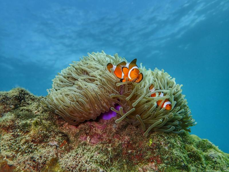 Closeup and macro shot of the Western Clownfish or Anemonefish during a leisure dive in Tunku Abdul Rahman Park, Kota Kinabalu, Sa. Closeup and macro shot of the royalty free stock photo