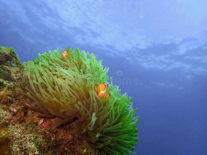 Closeup and macro shot of the Western Clownfish or Anemonefish during a leisure dive in Tunku Abdul Rahman Park, Kota Kinabalu, Sa. Closeup and macro shot of the stock photography