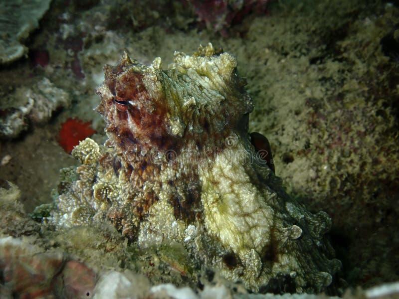 Closeup and macro shot of Day Octopus  during a leisure diving in Tunku Abdul Rahman Park, Kota Kinabalu. Sabah. Malaysia, Borneo. Closeup and macro shot of the stock photo