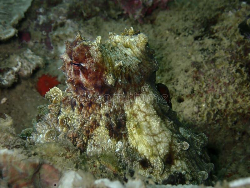 Closeup and macro shot of Day Octopus  during a leisure diving in Tunku Abdul Rahman Park, Kota Kinabalu. Sabah. Malaysia, Borneo. Closeup and macro shot of the stock image