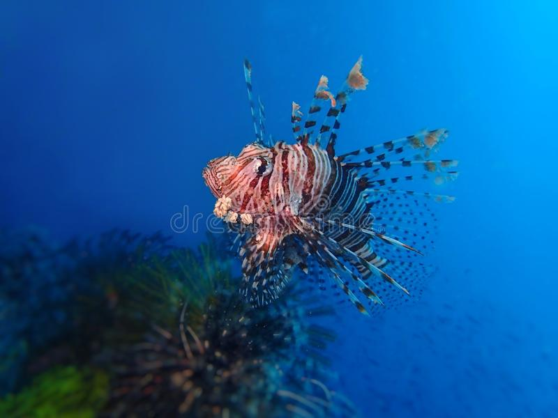 Closeup and macro shot of the lionfish, during a leisure dive in Tunku Abdul Rahman Park, Kota Kinabalu, Sabah. Malaysia, Borneo stock photos