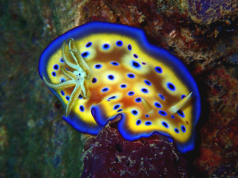 The colorful nudibranch Goniobranchus kuniei in Tunku Abdul Rahman Park, Kota Kinabalu, Sabah. Malaysia, Borneo. Closeup and macro shot of nudibranch stock image