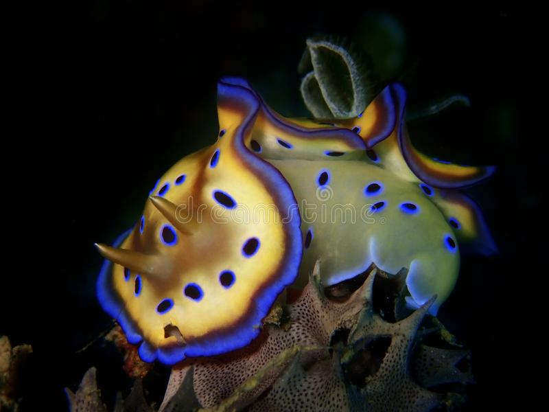 Closeup and macro shot of nudibranch Goniobranchus kuniei during a leisure dive in Tunku Abdul Rahman Park, Kota Kinabalu. Sabah, stock photo