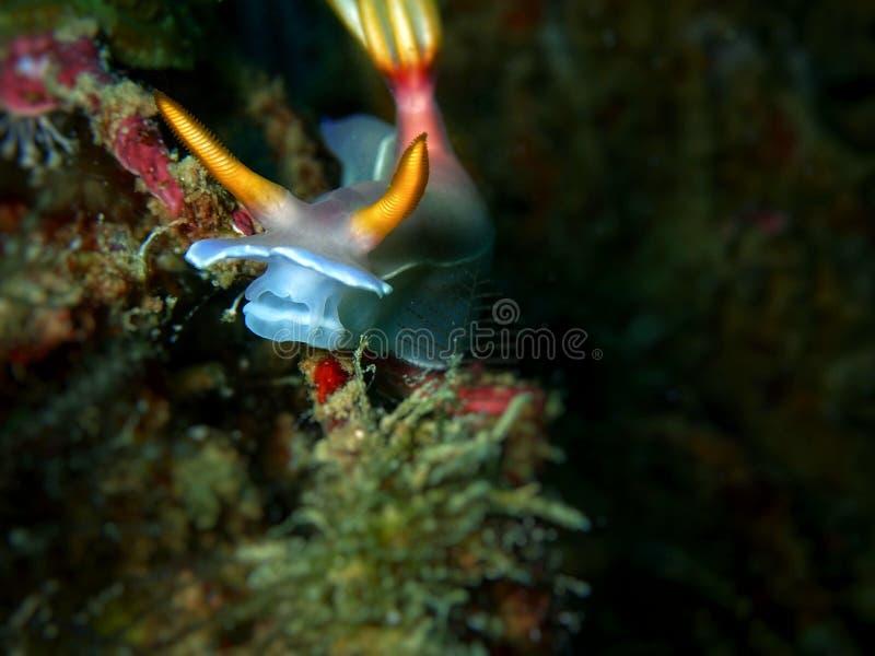 The nudibranch Hypselodoris bullockii during a leisure dive in Tunku Abdul Rahman Park, Kota Kinabalu, Sabah. Malaysia, Borneo. Closeup and macro shot of the royalty free stock images