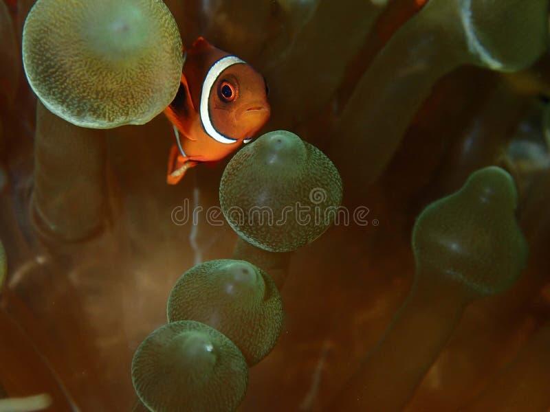 Closeup and macro shot of Spinecheek Anemonefish fish during leisure dive in Tunku Abdul Rahman Park, Kota Kinabalu, Sabah. Malays. Closeup and macro shot of the stock photo