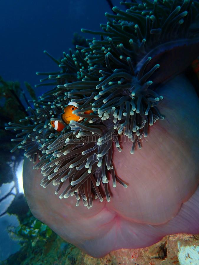 The Western Clownfish or Anemonefish during a leisure dive in Tunku Abdul Rahman Park, Kota Kinabalu, Sabah. Malaysia, Borneo. Closeup and macro shot of the royalty free stock photo