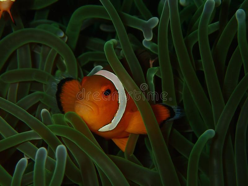 The Western Clownfish or Anemonefish during a leisure dive in Tunku Abdul Rahman Park, Kota Kinabalu, Sabah. Malaysia, Borneo. Closeup and macro shot of the stock photos
