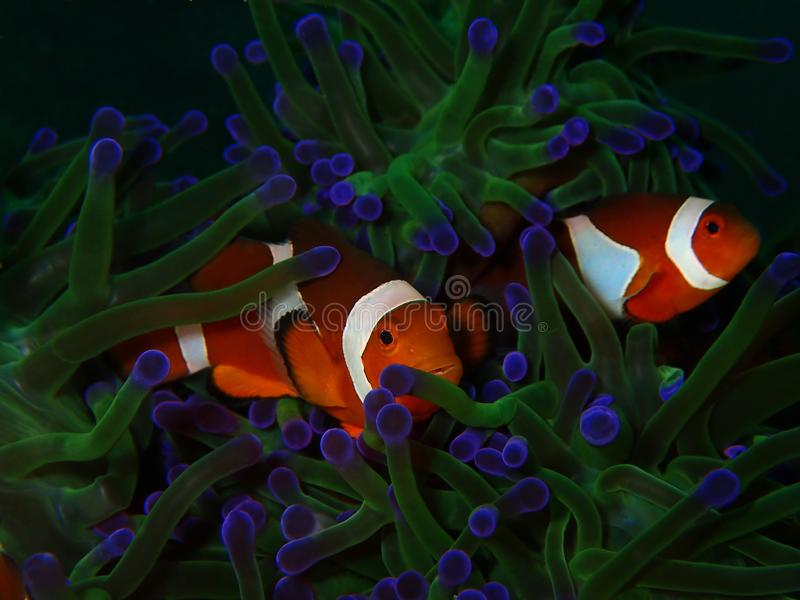 The Western Clownfish or Anemonefish during a leisure dive in Tunku Abdul Rahman Park, Kota Kinabalu, Sabah. Malaysia, Borneo. Closeup and macro shot of the royalty free stock photos