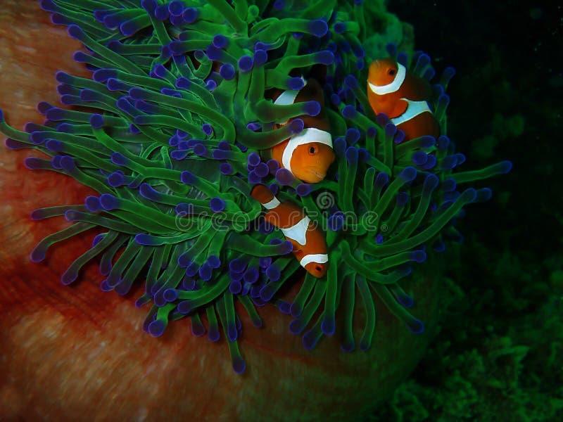 The Western Clownfish or Anemonefish during a leisure dive in Tunku Abdul Rahman Park, Kota Kinabalu, Sabah. Malaysia, Borneo. Closeup and macro shot of the royalty free stock photography