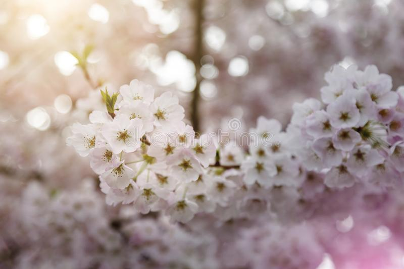 Closeup Macro of Spring Cherry Blossoms, light pink coloring warm sunlight Bokeh royalty free stock images