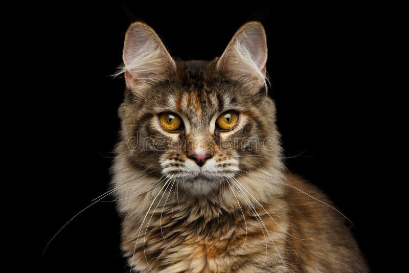Closeup Maine Coon Cat Portrait Isolated på svart bakgrund arkivfoton