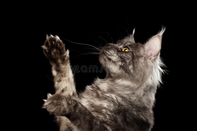 Closeup Maine Coon Cat Raising Paws up Isolated Black Background. Closeup Portrait of Maine Coon Cat Raising Paws up Isolated on Black Background, Side view royalty free stock images