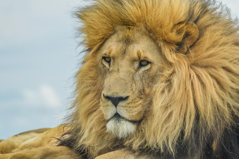 Closeup of a majestic young brown lion during a South African Safari royalty free stock image