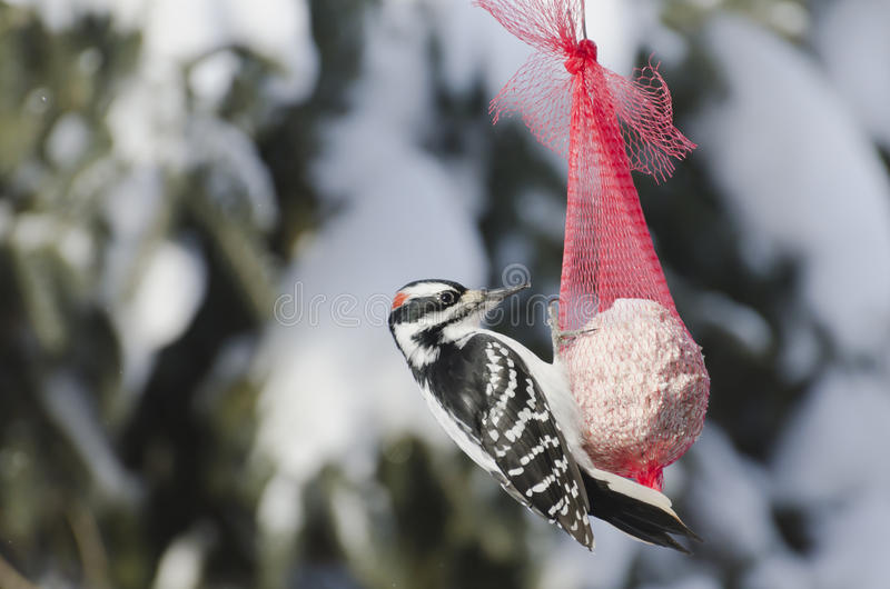 Download Closeup Of A Male Downy Woodpecker Royalty Free Stock Photography - Image: 28452667
