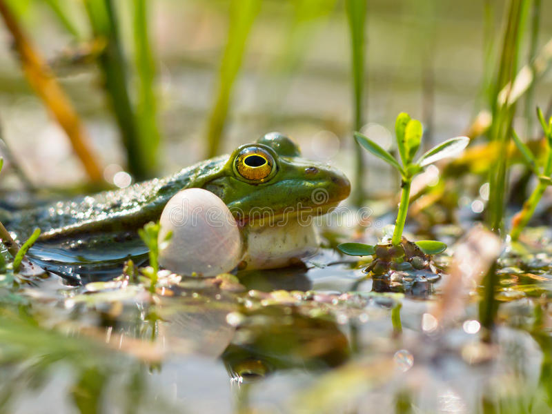 Closeup of male edible frog royalty free stock photography
