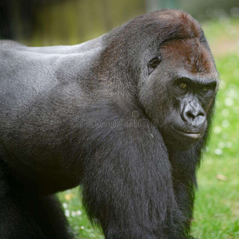 Gorilla silverback closeup, gorilla portrait royalty free stock photo