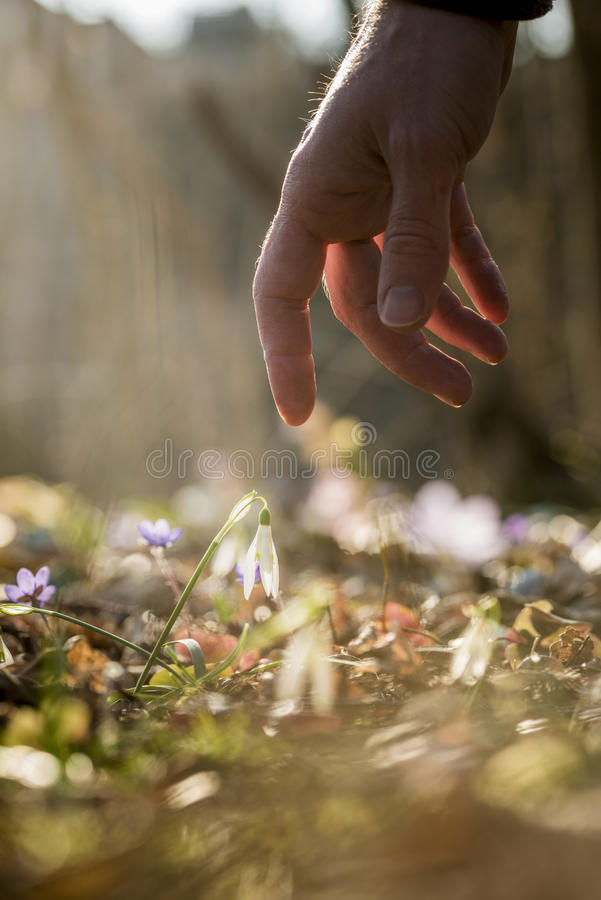 Closeup Of Male Hand Reaching Down To Touch A Delicate First Spr ...