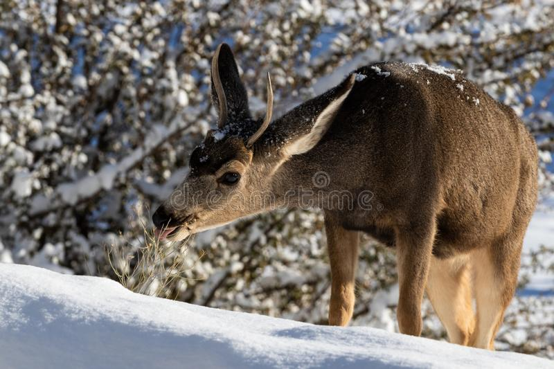 Closeup of male Kaibab deer mule deer with antlers feeding in winter. Plants and snow in background. Closeup of young male Kaibab deer subspecies of mule deer royalty free stock photo