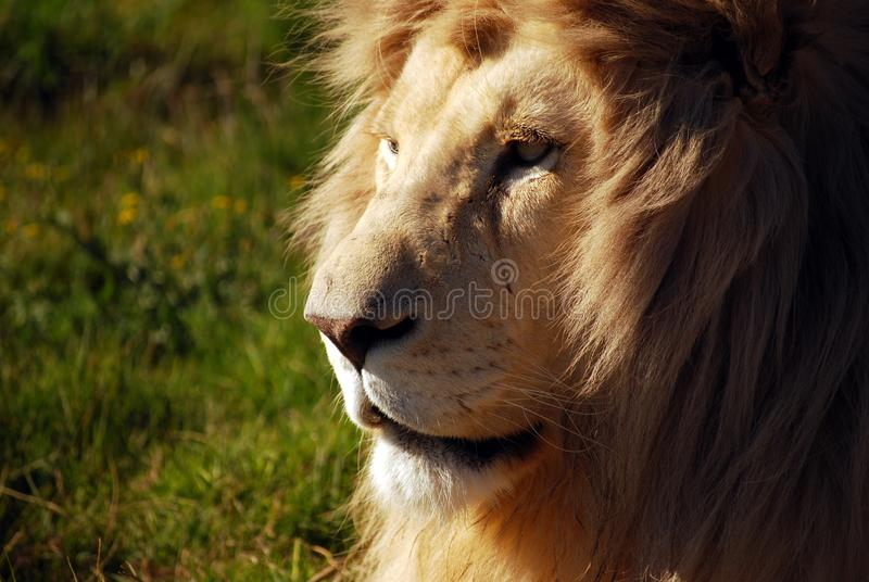 Closeup of Male Lion Face in Sunlight stock images