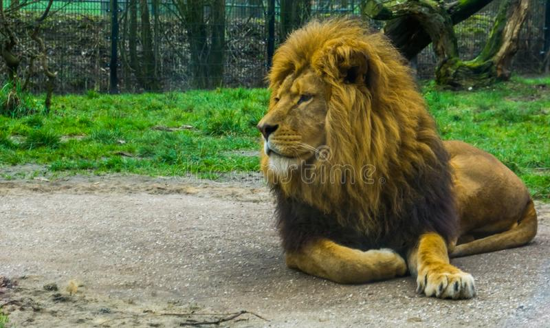Closeup of a male lion laying on the ground, popular zoo animals, traditional pet in roman culture. A Closeup of a male lion laying on the ground, popular zoo royalty free stock photo